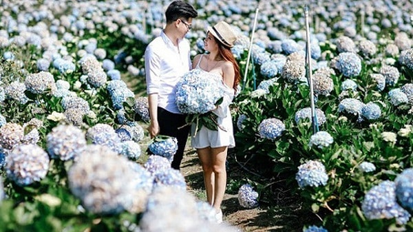 Tour check in chụp hình sống ảo - Cánh đồng hoa cẩm tú cầu Đà Lạt