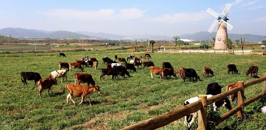 Đà Lạt Milk Farm - Địa điểm du lịch Đà Lạt hấp dẫn