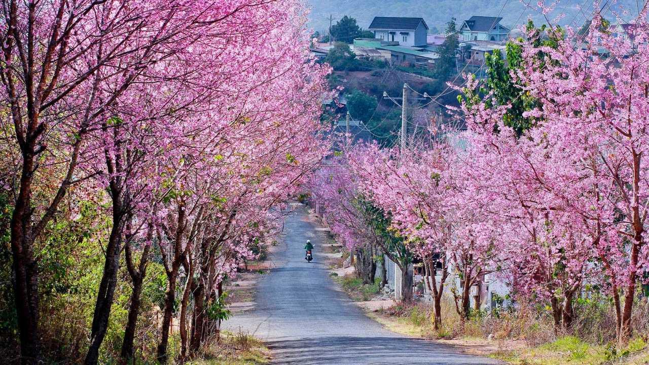 Những con đường hoa anh đào đẹp mê hồn tại Đà Lạt