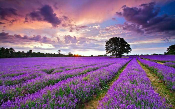 Lavender Garden Đà Lạt